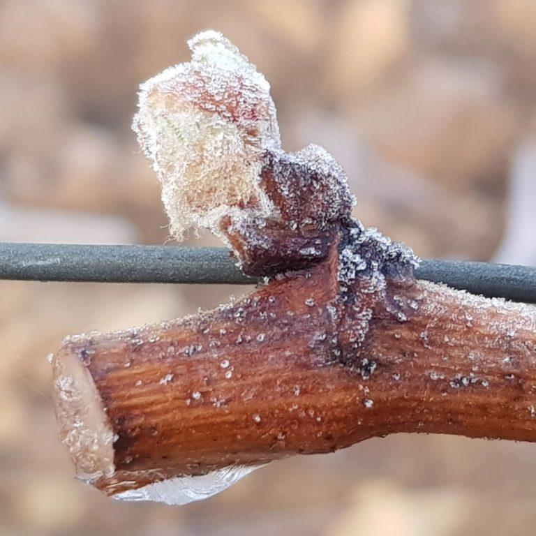 Frost Alarm In Burgundy