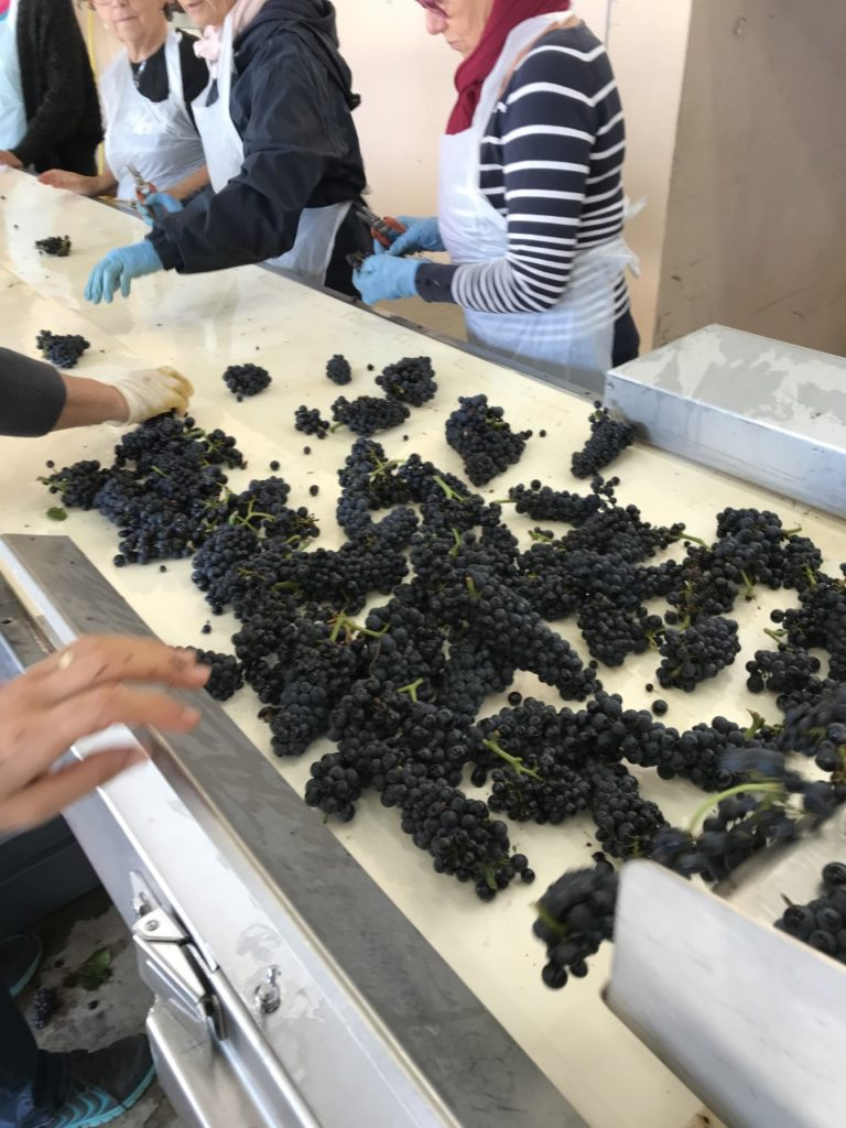 Sorting red grapes during harvest 2019 in Burgundy