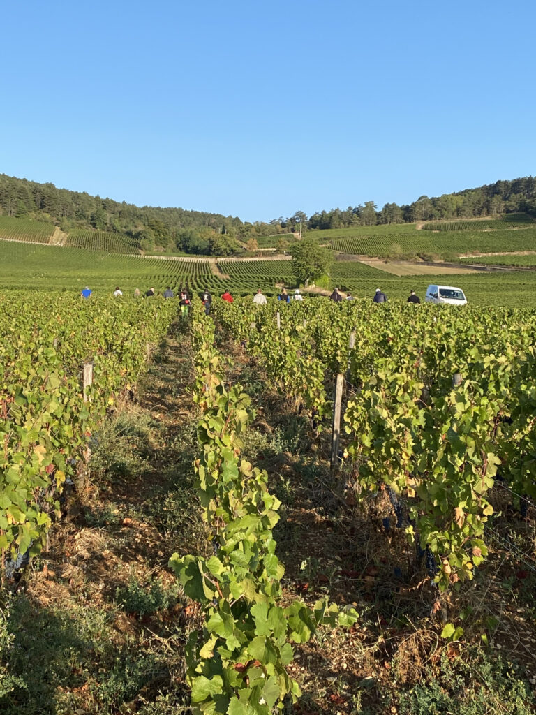 Harvesting Beaune Pertuisots 2020
