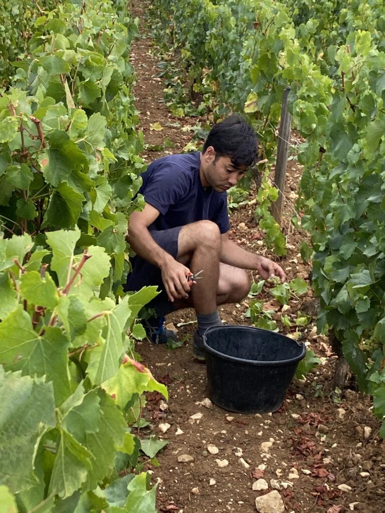 Harvesting Meursault Clos de la Barre